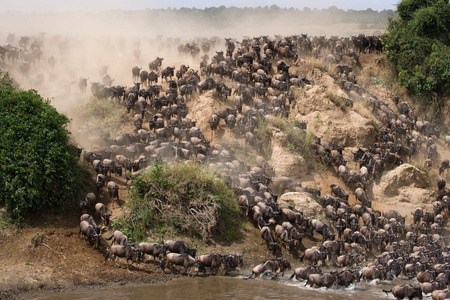 Wildebeests are runing to the Mara river. Great Migration. Kenya. Tanzania.