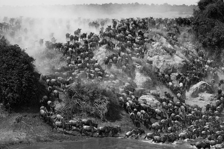 runing: Wildebeests are runing to the Mara river. Great Migration. Kenya. Tanzania.