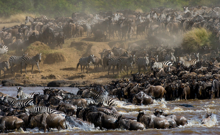Wildebeests are crossing Mara river. Great Migration. Kenya. Tanzania. Stock Photo