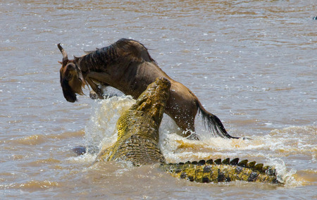 Crocodile attack wildebeest in the Mara river. Great Migration. Kenya. Tanzania. Stock Photo