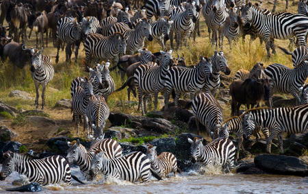 tanzania antelope: Big herd of wildebeest is about Mara River. Great Migration. Kenya. Tanzania.