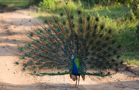 Portrait of a peacock on the background of his tail. Close-up. Sri Lanka.