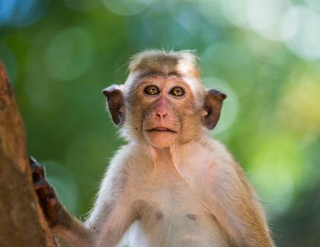 primacy: Monkey close-up portrait. Sri Lanka. Stock Photo