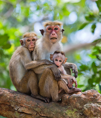 yala: Family of monkeys sitting in a tree. Funny picture. Sri Lanka. Stock Photo