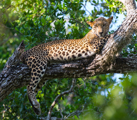 The leopard lies on a large tree branch. Sri Lanka.