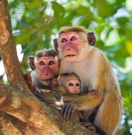 Family of monkeys sitting in a tree. Funny picture. Sri Lanka. Stock Photo