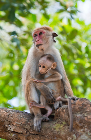 Monkey mother with a baby sits on a tree. Sri Lanka.