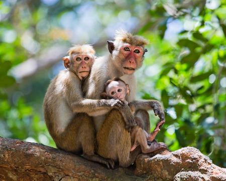 primacy: Family of monkeys sitting in a tree. Funny picture. Sri Lanka. Stock Photo