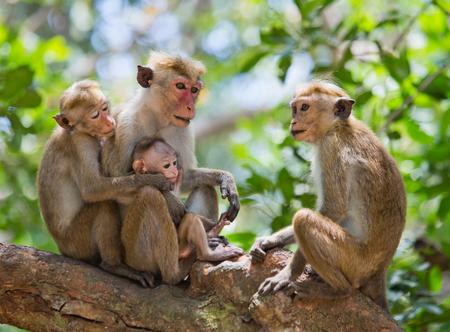 Familie van apen in een boom zitten. Grappige foto. Sri Lanka. Stockfoto