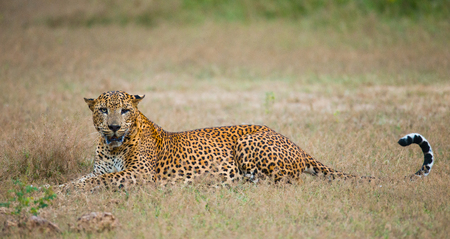 Leopard lying on the grass. Sri Lanka.