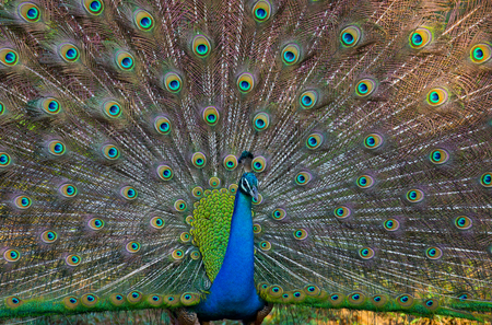 tail fan: Portrait of a peacock on the background of his tail. Close-up. Sri Lanka.