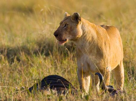 Lioness had just killed a wildebeest. Kenya. Tanzania. Maasai Mara. Serengeti.