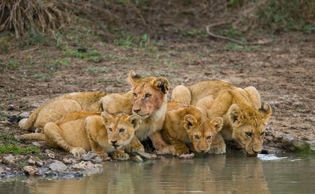 maasai mara: Young Lions at the watering. Kenya. Tanzania. Maasai Mara. Serengeti.