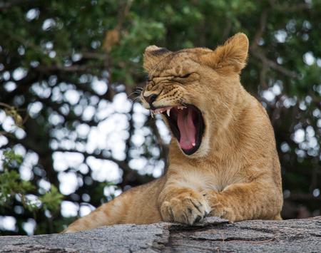Lion cub is yawning. National Park. Kenya. Tanzania. Masai Mara. Serengeti.
