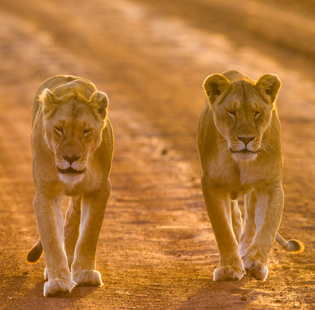maasai mara: Two lionesses walking on the road. Kenya. Tanzania. Maasai Mara. Serengeti. Stock Photo