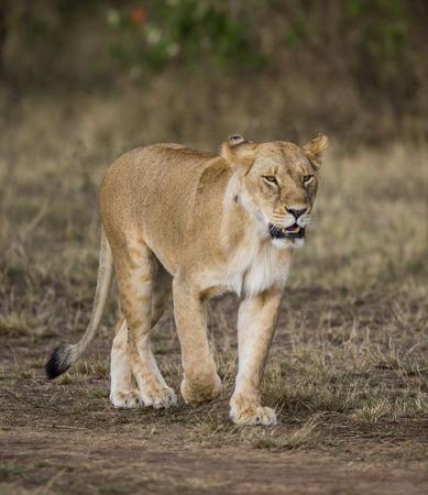 maasai mara: Lioness walking along the road. Kenya. Tanzania. Maasai Mara. Serengeti. Stock Photo
