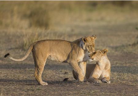 Two lionesses fondle each other.Kenya. Tanzania. Masai Mara. Serengeti. Stock Photo