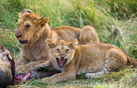 Lioness eating killed wildebeest. Kenya. Tanzania. Masai Mara. Serengeti. Stock Photo