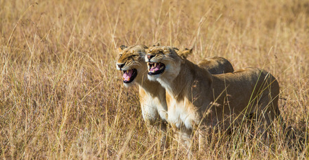 Two lionesses in the Savannah. Kenya. Tanzania. Masai Mara. Serengeti. Stock Photo