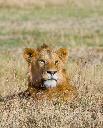 maasai mara: Big male lion in the savanna. Kenya. Tanzania. Maasai Mara. Serengeti.