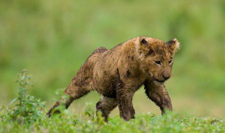 maasai mara: Portrait of a young lion. Kenya. Tanzania. Maasai Mara. Serengeti.