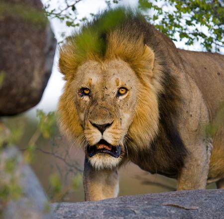 mane: Big male lion with gorgeous mane on a big rock. Kenya. Tanzania. Masai Mara. Serengeti.
