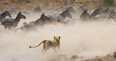 Lioness attack on a zebra. National Park. Kenya. Tanzania. Masai Mara. Serengeti. An excellent illustration.