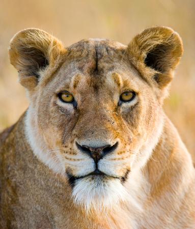 雌ライオンの肖像画。クローズ アップ。ケニア。タンザニア。マサイマラ。セレンゲティ。
