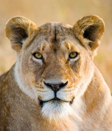 Portrait of a lioness. Close-up. Kenya. Tanzania. Maasai Mara. Serengeti. Stock Photo