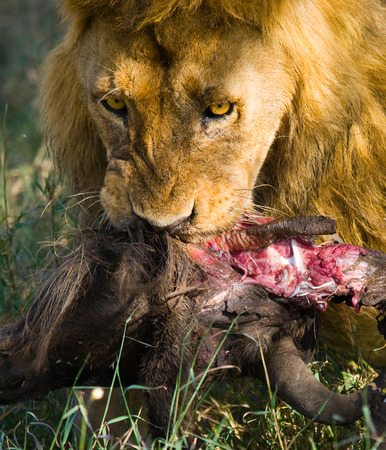 Big male lion with gorgeous mane eating prey. Kenya. Tanzania. Maasai Mara. Serengeti.