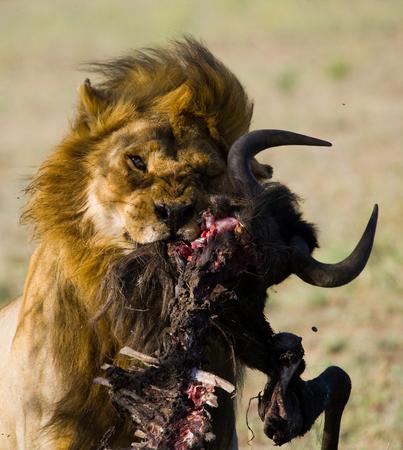 mane: Big male lion with gorgeous mane eating prey. Kenya. Tanzania. Maasai Mara. Serengeti.