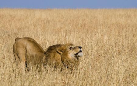 maasai mara: Big male lion in the savanna.Kenya. Tanzania. Maasai Mara. Serengeti.