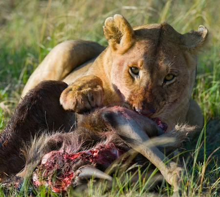 Lioness eating killed wildebeest. Kenya. Tanzania. Masai Mara. Serengeti. Stock Photo