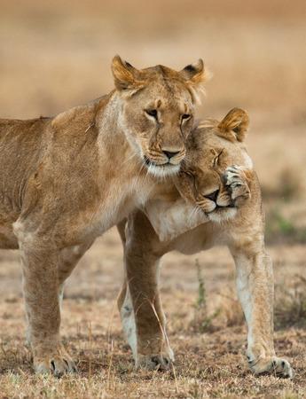 Two lionesses fondle each other. Kenya. Tanzania. Masai Mara. Serengeti. Stock Photo