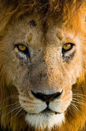 maasai mara: Portrait of a male lion. Kenya. Tanzania. Maasai Mara. Serengeti.
