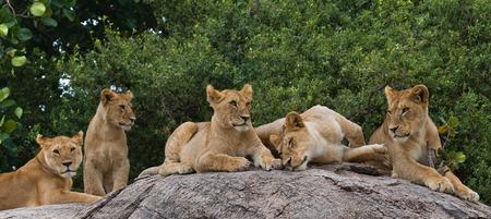 maasai mara: Some lions lie on a big rock. Kenya. Tanzania. Maasai Mara. Serengeti.