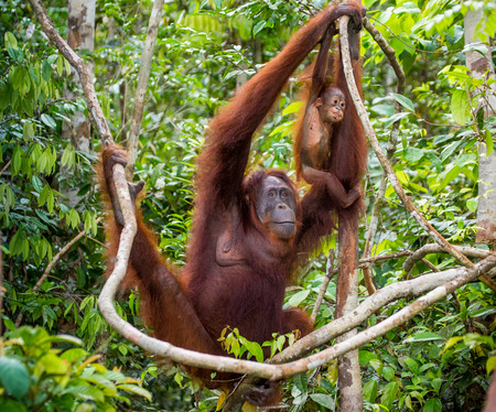 ottimo: The female of the orangutan with a baby in a tree. Indonesia. The island of Kalimantan (Borneo). An excellent illustration.