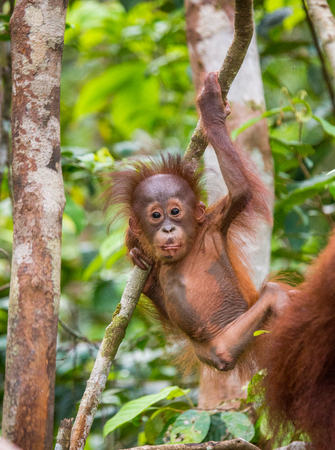 A baby orangutan in the wild. Indonesia. The island of Kalimantan (Borneo). An excellent illustration.