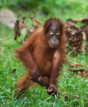 rain forest animal: A baby orangutan playing with a wooden stick. Indonesia. The island of Borneo (Kalimantan). An excellent illustration.