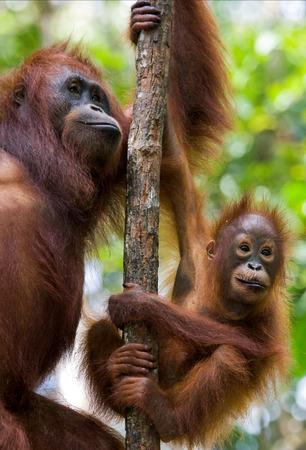 ottimo: La femmina dell'orangutan con un bambino in un albero. Indonesia. L'isola di Kalimantan (Borneo). Un'illustrazione eccellente.