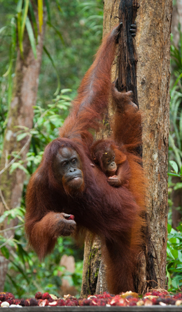 The female of the orangutan with a baby on the feeding place. Indonesia. The island of Kalimantan (Borneo). An excellent illustration.