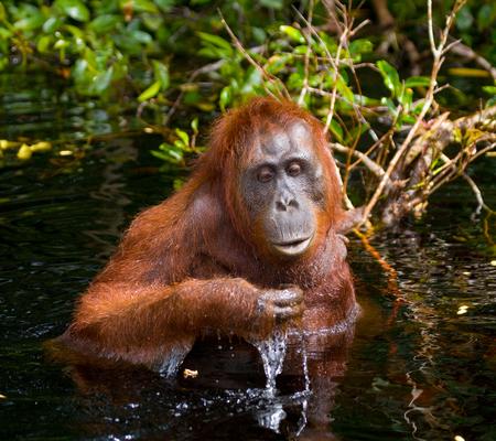 ottimo: Acqua potabile di orangutà dal fiume nella giungla. Indonesia. L'isola di Kalimantan (Borneo). Un'illustrazione eccellente. Archivio Fotografico