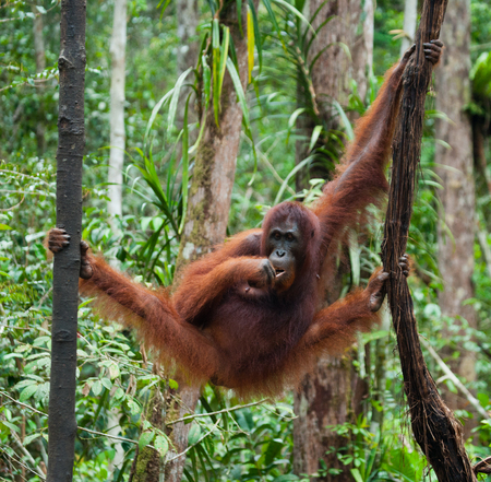 rain forest animal: Big male orangutan on a tree in the wild. Indonesia. The island of Kalimantan (Borneo). An excellent illustration.