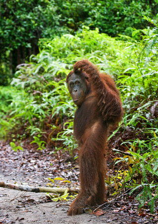 Orangutan stands on its hind legs in the jungle. Indonesia. The island of Kalimantan (Borneo). An excellent illustration.