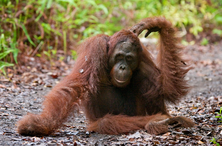 Orangutan sitting on the ground in the jungle. Indonesia. The island of Kalimantan (Borneo). An excellent illustration. Stock Photo
