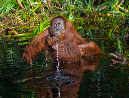 rain forest animal: Orangutan drinking water from the river in the jungle. Indonesia. The island of Kalimantan (Borneo). An excellent illustration.