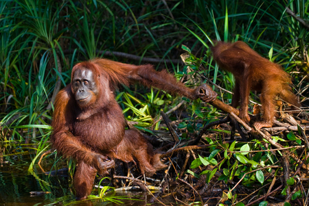 Orangutan in the wild. Indonesia. The island of Kalimantan (Borneo). An excellent illustration. Stock Photo