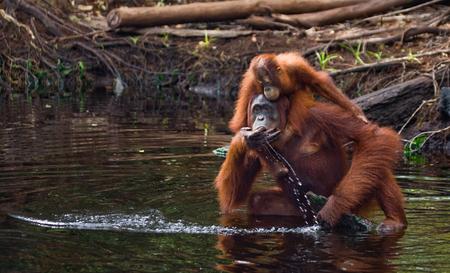 정글에서 강에서 여성과 아기 오랑우탄 마시는 물. 인도네시아 공화국. 칼리만탄 섬 (보르네오). 훌륭한 그림.