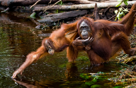 rain forest animal: Female and baby orangutan drinking water from the river in the jungle. Indonesia. The island of Kalimantan (Borneo). An excellent illustration. Stock Photo