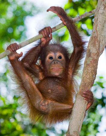 ottimo: Una baby orangutan allo stato selvatico. Indonesia. L'isola di Kalimantan (Borneo). Un ottimo esempio.